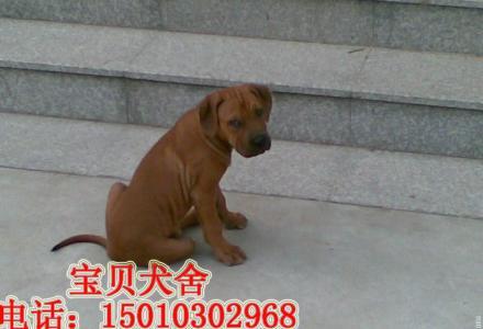桂林纯种比特幼犬多少钱一只