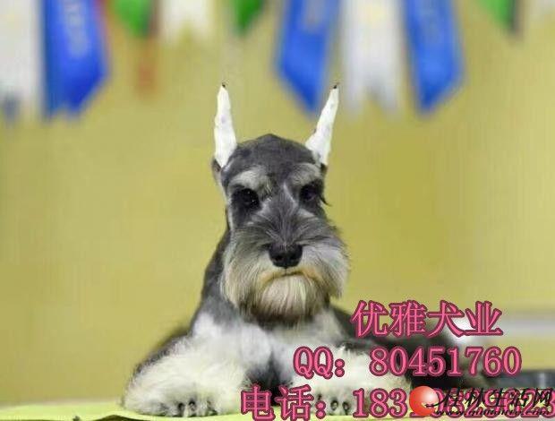 纯种雪纳瑞出售北京哪里有雪纳瑞犬保纯种健康包邮