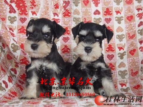 纯种雪纳瑞幼犬价格 北京雪纳瑞出售 迷你雪纳瑞