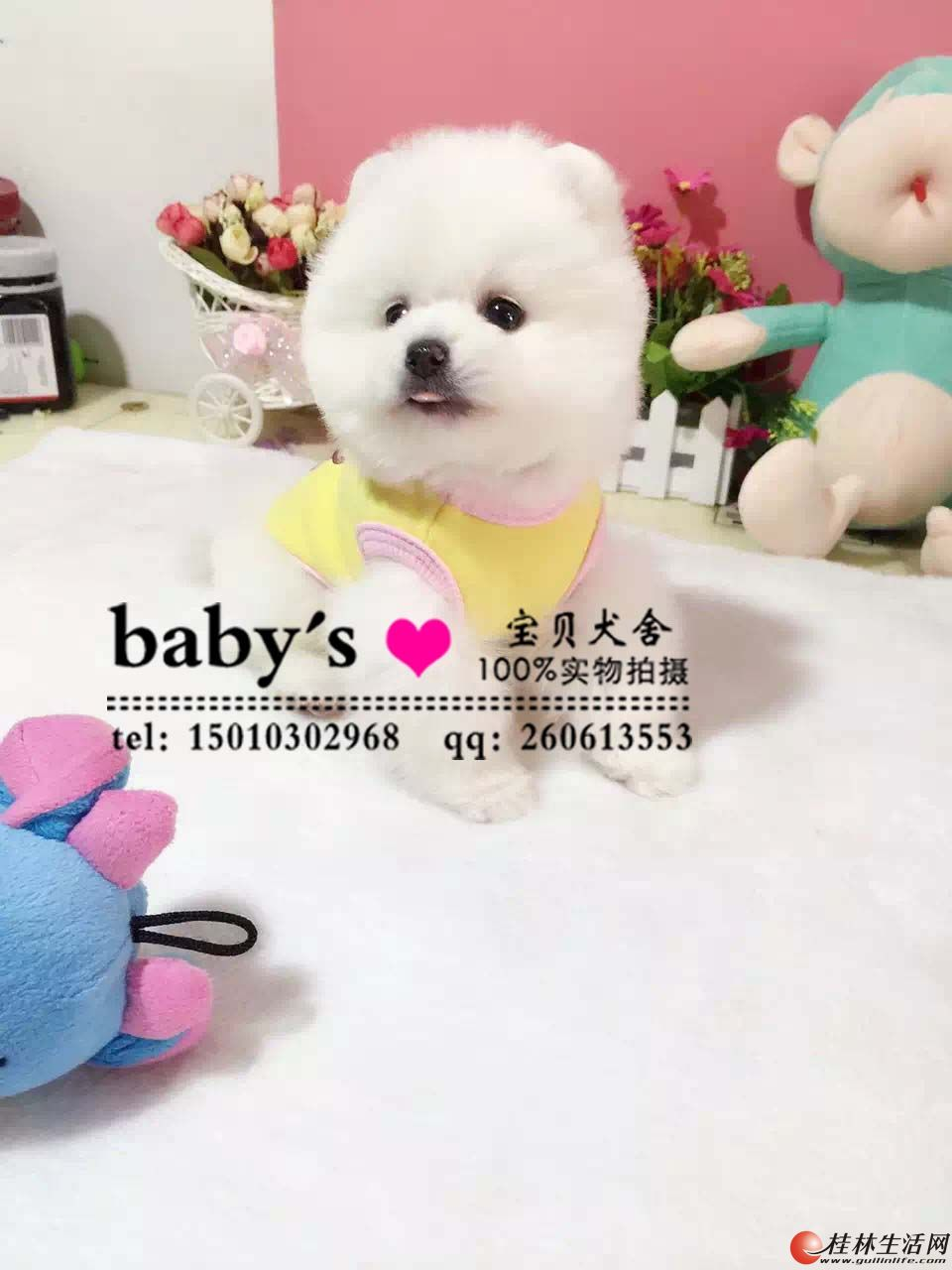 桂林纯种博美幼犬多少钱一只