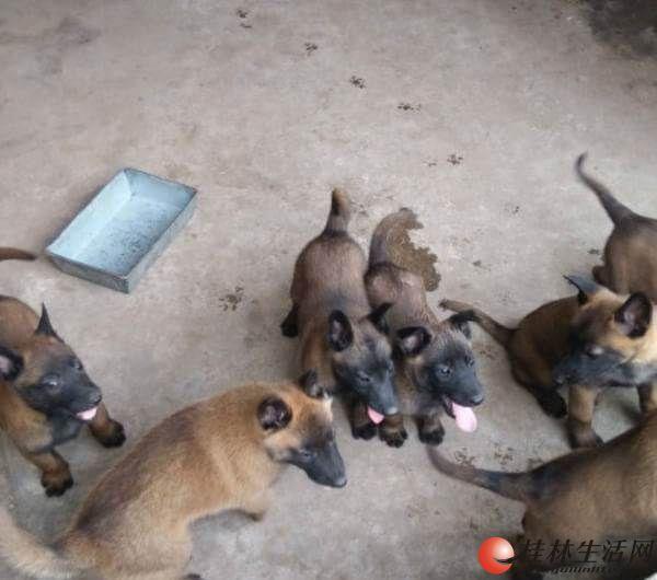 桂林哪里有纯种马犬出售卖桂林狗场马犬价格