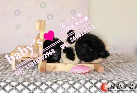 桂林纯种泰迪幼犬多少钱一只