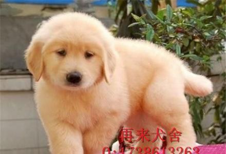 出售高品质金毛幼犬大头宽嘴金毛金毛幼犬 可上门