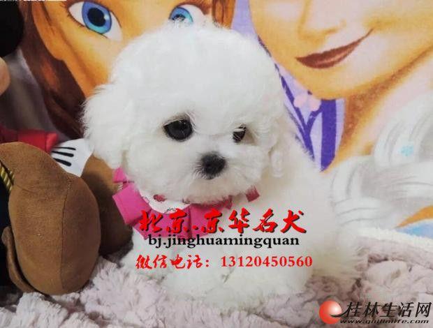 圆脸蛋比熊、厚毛量棉花糖比熊出售、欢迎上门看狗