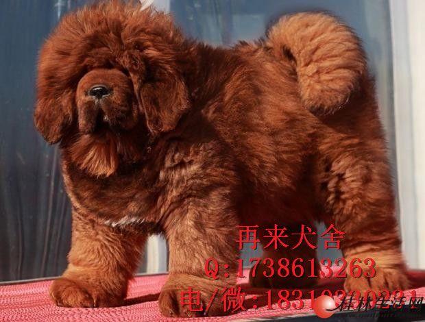 北京哪里出售纯藏獒幼犬