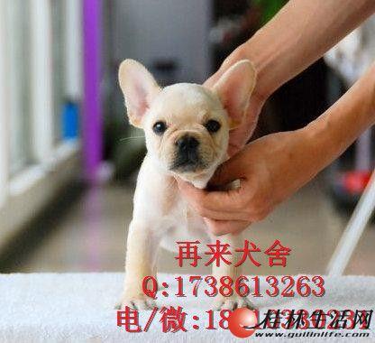 北京哪里出售法国斗牛犬