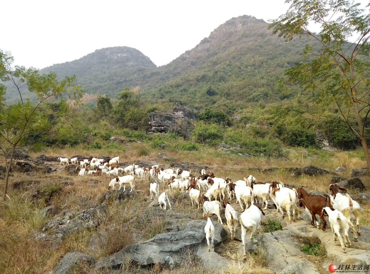 出售自家放养纯种波尔山羊,万福路附近13788741568