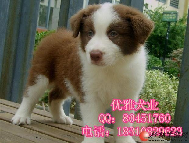 纯种边境牧羊犬 北京边境牧羊犬多少钱一只 北京哪卖边牧幼犬