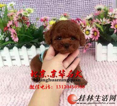 纯玩具体泰迪犬出售 成犬肩高22--25厘米
