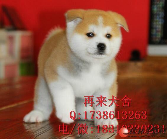纯种秋田犬幼犬出售 纯种秋田幼犬出售 北京秋田好养吗