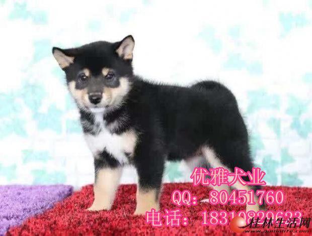 日本柴犬 赤红色柴犬 黑柴 纯种赛级 可办血统证