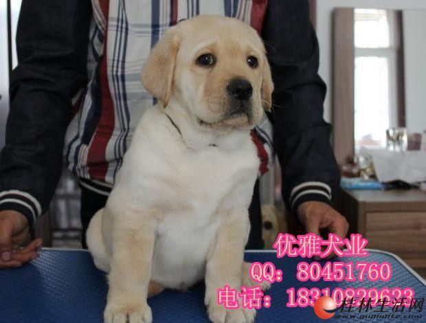 拉不拉多犬 拉布拉多导盲犬 纯种拉布拉多幼犬 包邮