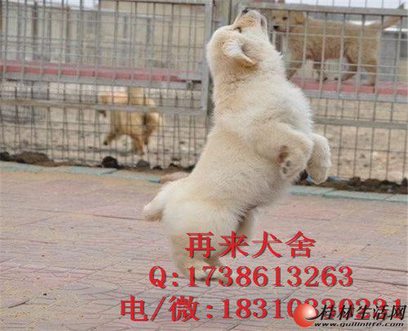 北京金毛 纯种大头金毛犬 纯种健康金毛猎犬