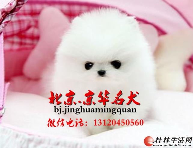 北京哪里有卖博美犬 家养小博美怎么卖 博美幼犬