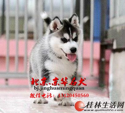 帅气哈士奇/哈士奇与哈士奇雪橇犬/哈士奇多少钱