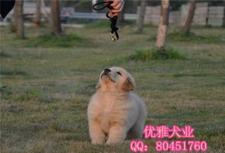 金毛幼犬 纯种赛级金毛 骨架大毛量足 纯种金毛