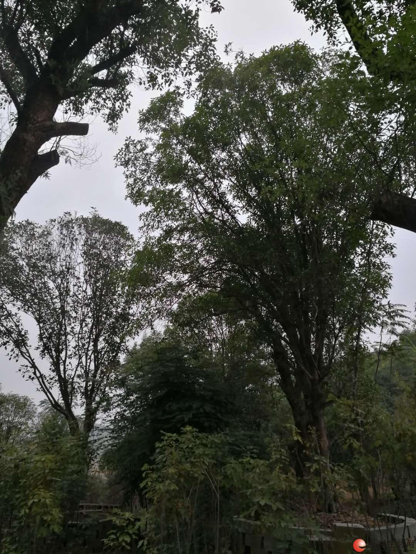大樟树、大桂花树、大广玉兰、玉兰树出售,电话13517637715