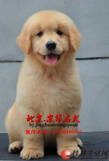 黄金猎犬 纯种大头金毛出售 同城可送上门服务