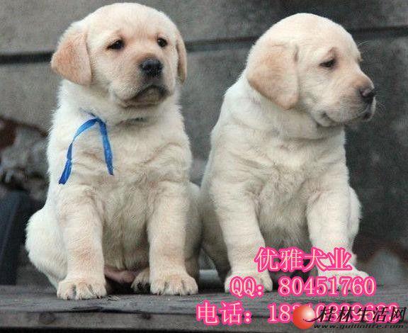 纯种拉布拉多 赛级拉布拉多 北京拉布拉多幼犬价格