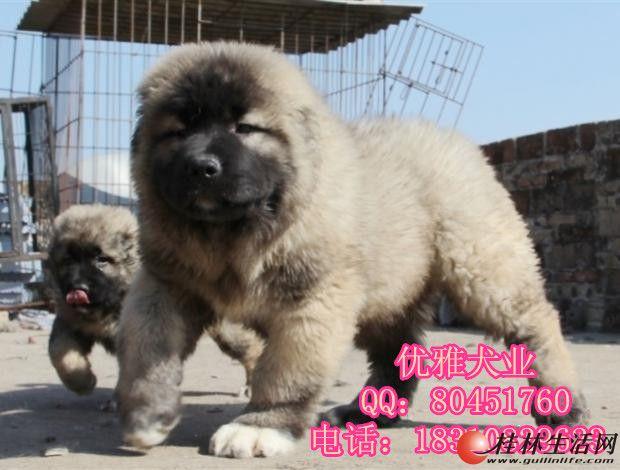 纯种高加索多少钱 北京哪里卖高加索 高加索幼犬