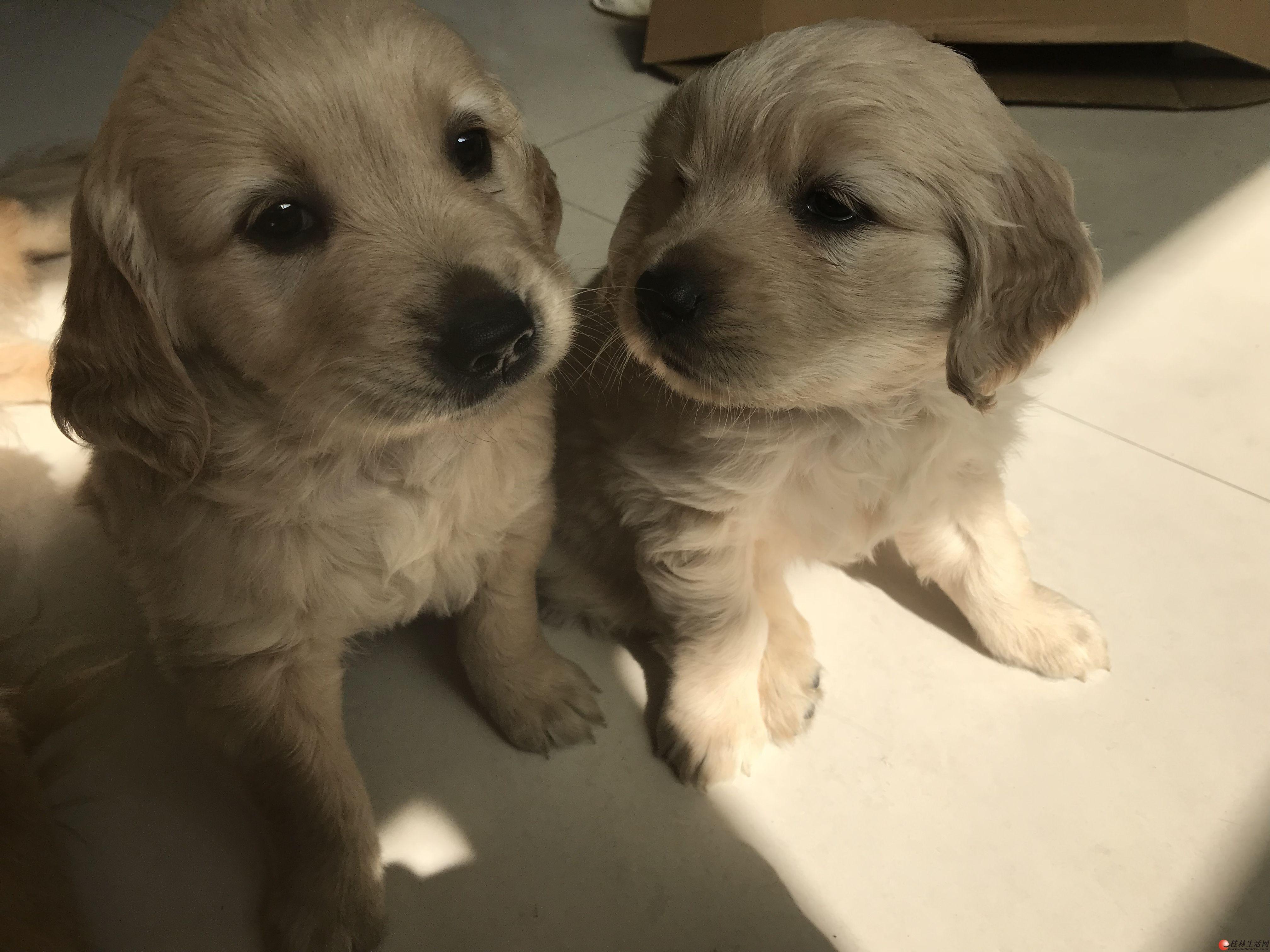 出售自家纯种金毛幼犬,40天