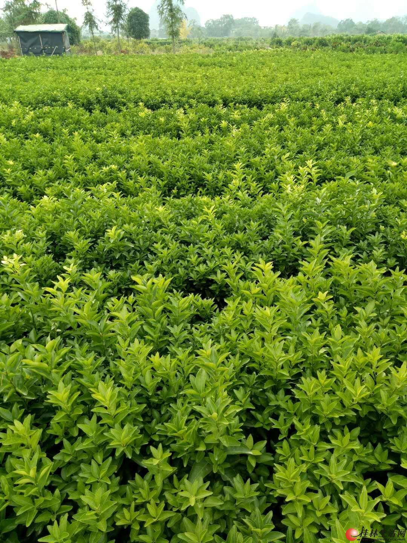 沙糖桔秧苗,好品种可以下地看现场