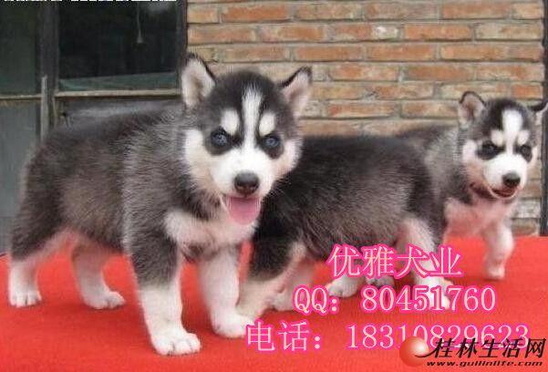 黑白色哈士奇 北京哪卖哈士奇幼犬 哈士奇犬好养吗