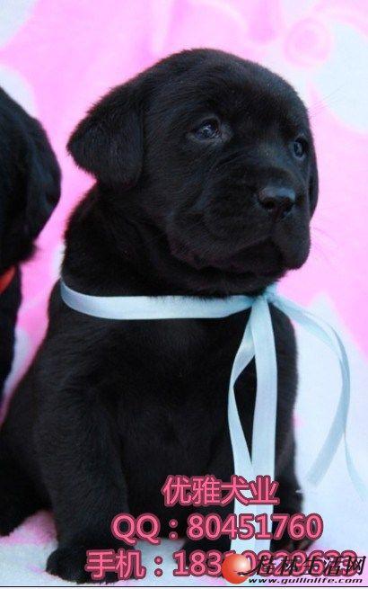 出售纯种拉布拉多导盲幼犬, 北京哪里买拉布拉多有保障
