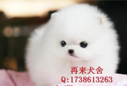 北京哪里卖纯种博美幼犬 哈多利球体博美 白色博美 出售签协议