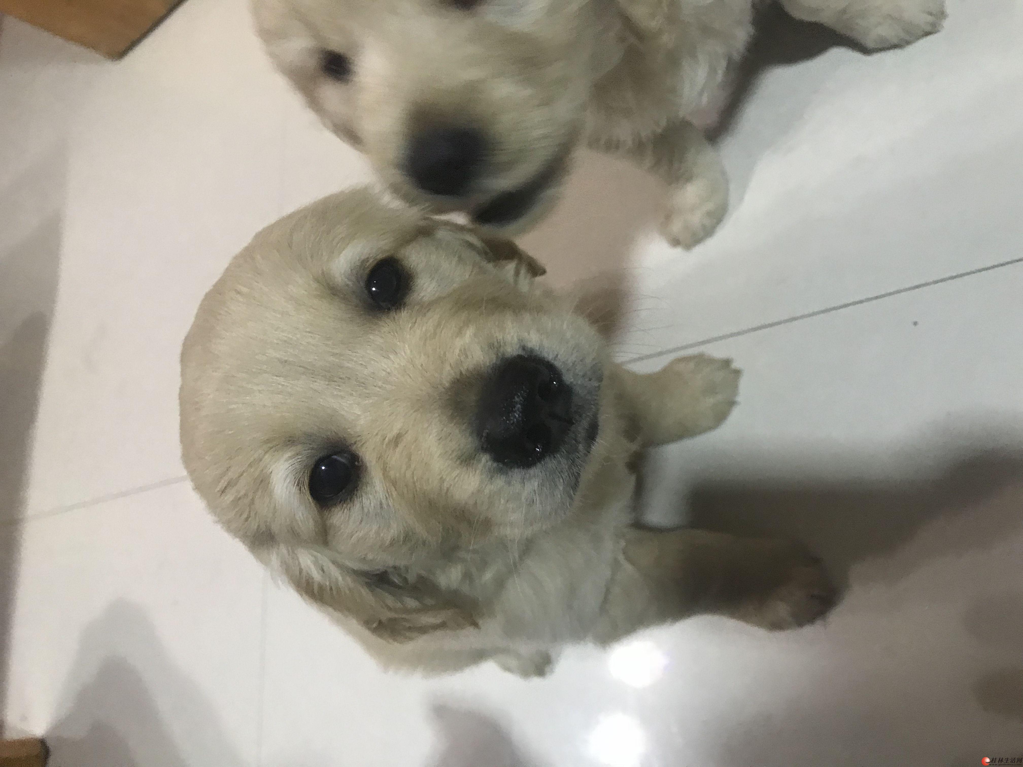 出售家养金毛幼犬50天