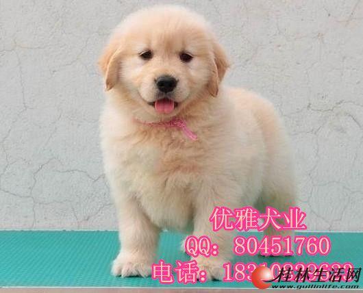 哪里出售美系金毛幼犬 纯种金毛价格 金毛图片