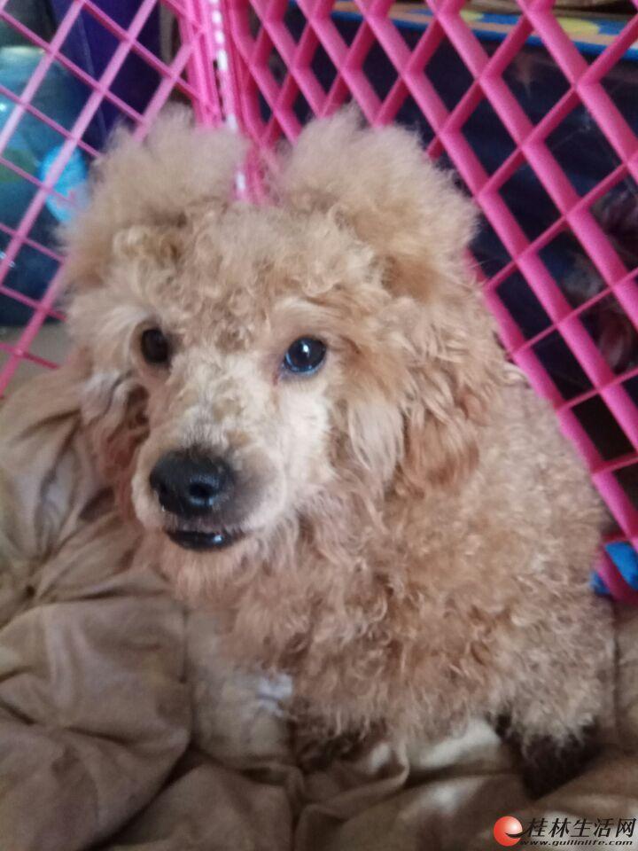 泰迪找主人六合路附近捡到狗狗一只