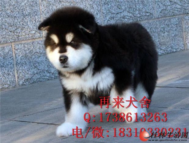 纯种阿拉斯加幼犬多少钱 熊版阿拉斯加犬