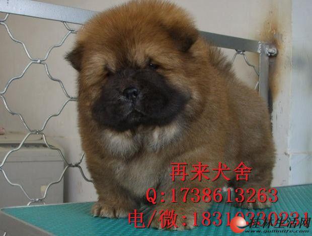 纯种松狮犬 北京哪里卖松狮幼犬 自家精品松狮犬 三个月包退换