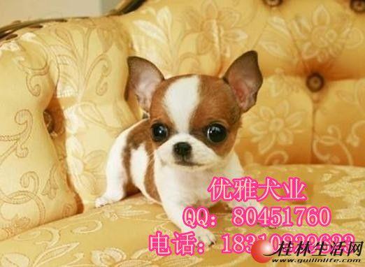 吉娃娃 苹果脸 袖珍迷你幼犬 活体宠物狗狗