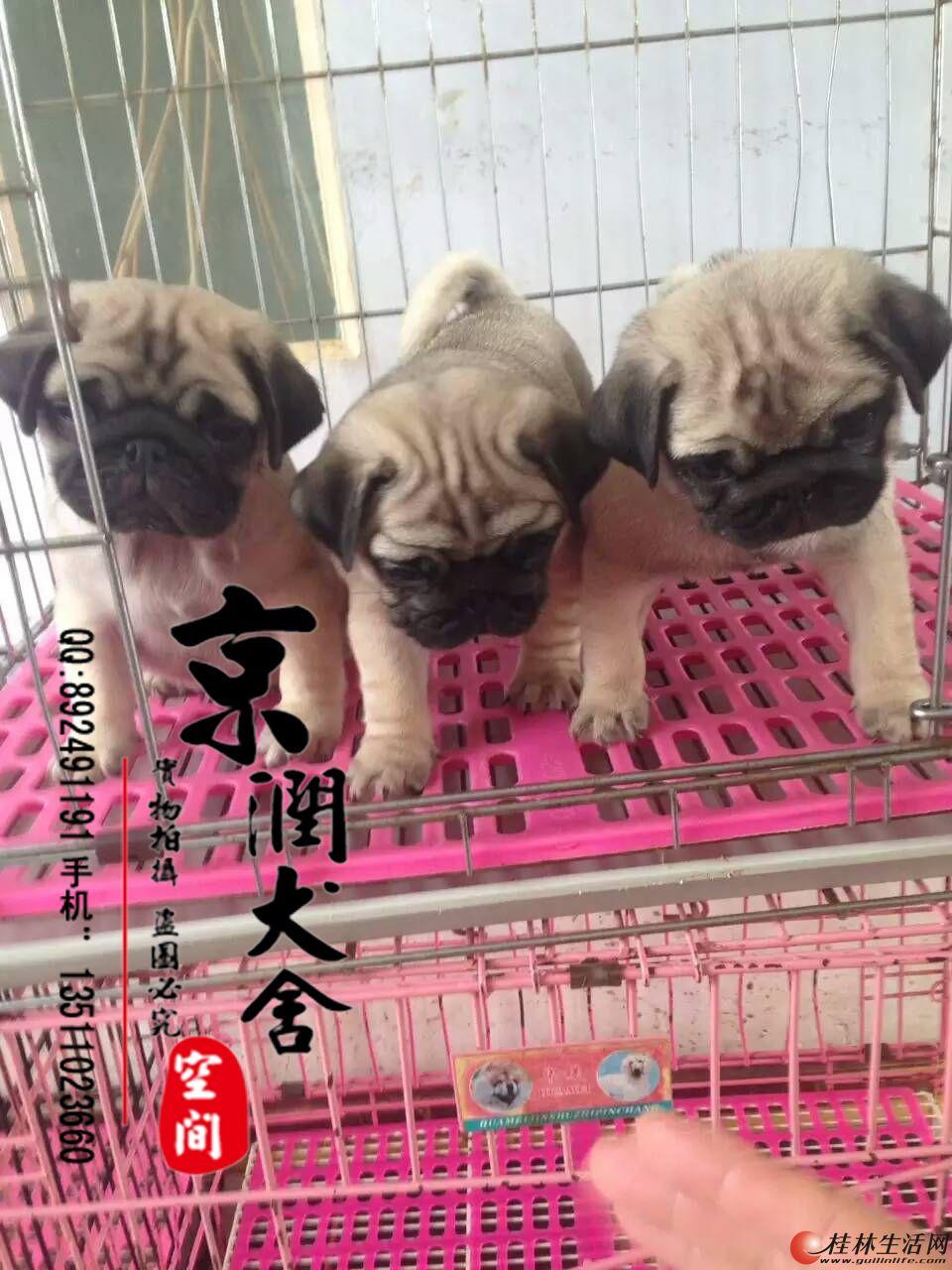 北京哪里有卖纯种巴哥幼犬的 北京卖八哥的 巴哥犬配种