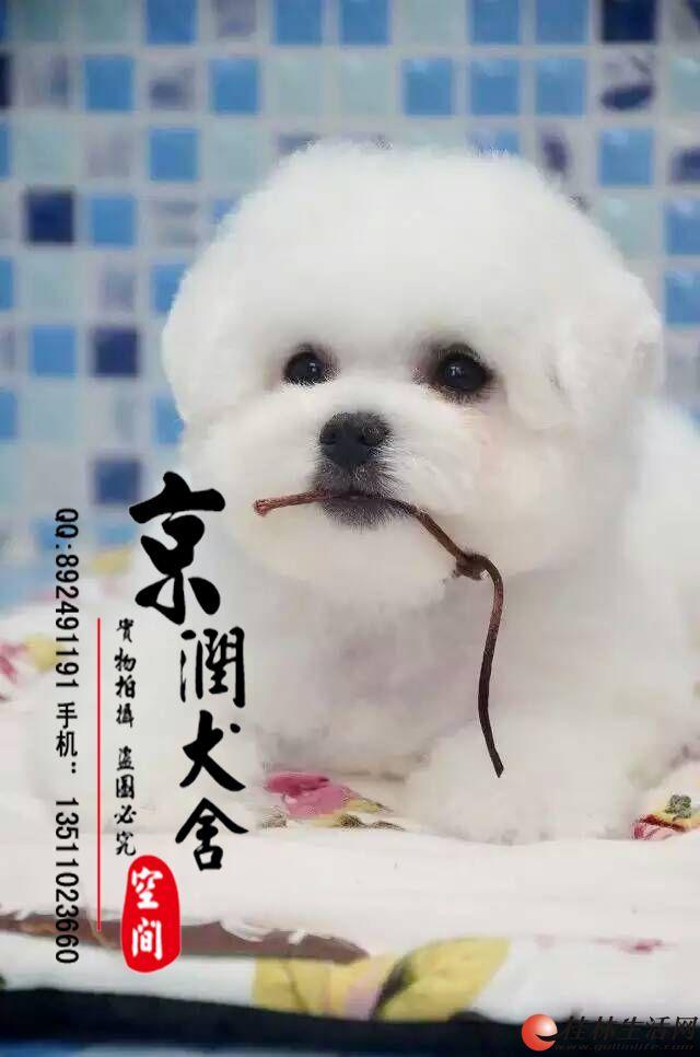 北京有卖三个月的比熊的吗 北京有给比熊配种的吗