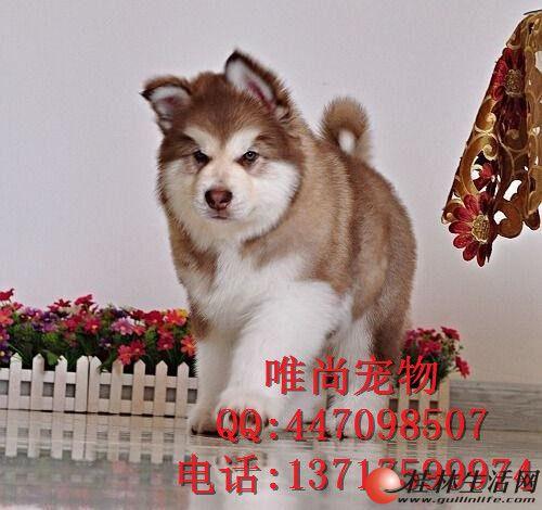 北京哪里卖宠物狗北京宠物多少钱一只