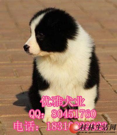 边牧什么价位 北京哪里买边牧好 北京哪家狗场卖边牧
