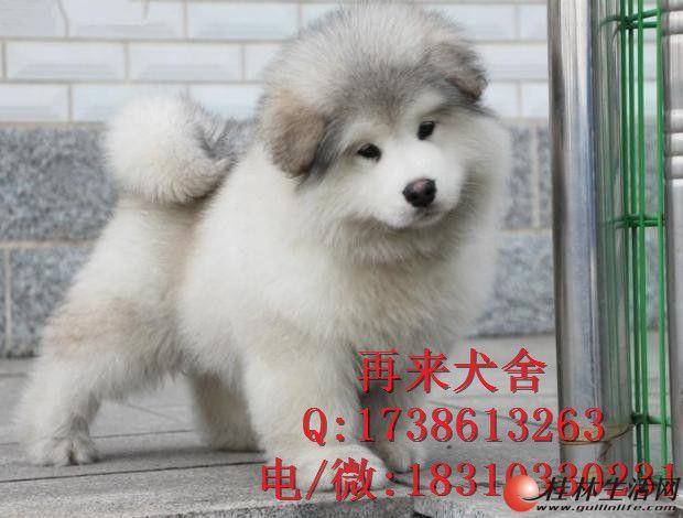 特价出售阿拉斯加 纯种阿拉斯加幼犬出售 北京阿拉斯加犬舍