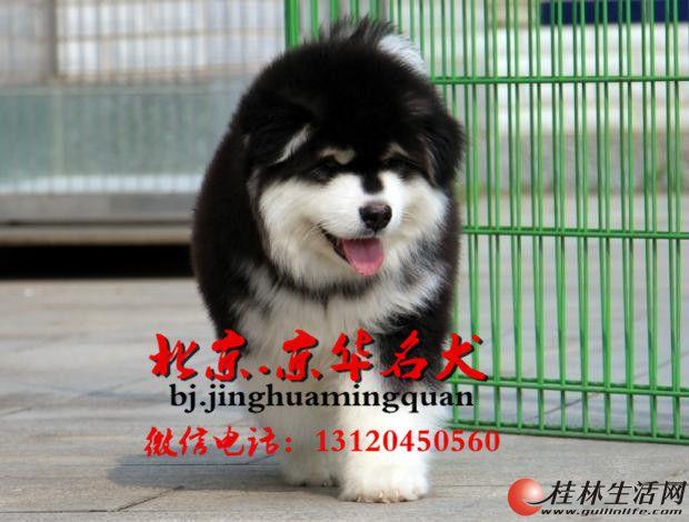 北京自家繁殖纯种阿拉斯加幼犬出售 疫苗做齐保健康