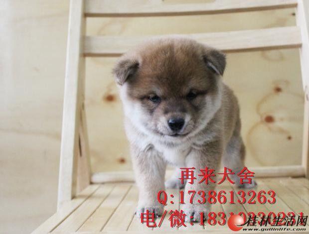 带血统的柴犬多少钱 双血统柴犬多少钱 纯种柴犬价格