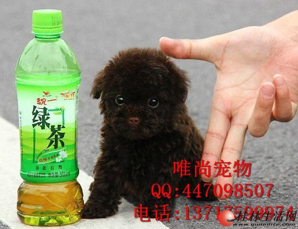 哪里出售泰迪幼犬多少钱一只