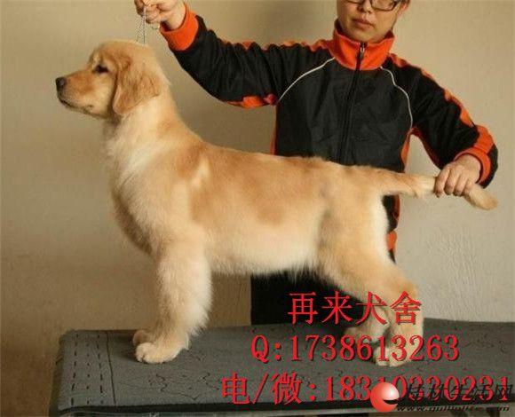 北京哪里有金毛犬出售 金毛幼犬价格 金毛好养吗