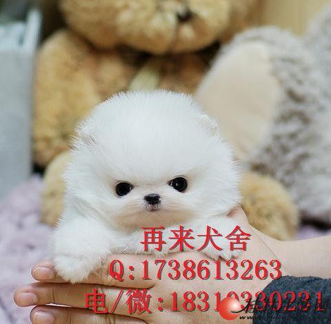 繁殖基地出售纯种博美幼犬 棉花糖博美幼犬 活体
