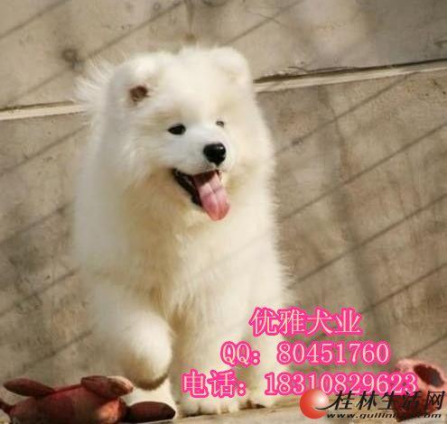 纯种萨摩耶幼犬出售 微笑天使萨摩 品相极佳品质