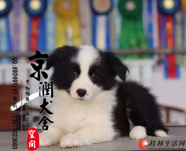 纯种边境牧羊犬出售 赛级双血统 全国包邮