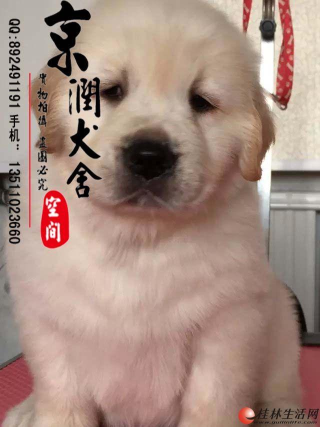 万博体育客户端有卖大头金毛的吗 万博体育客户端有卖纯种的金毛小狗吗