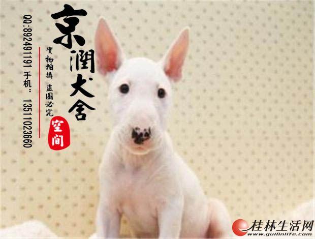 纯种牛头梗幼犬多少钱一只