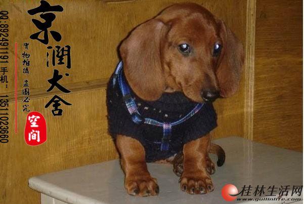 万博体育客户端腊肠犬的价格 万博体育客户端有卖腊肠犬小狗的吗